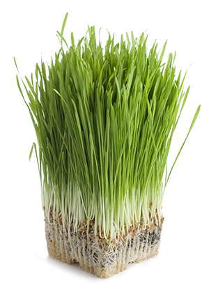 fermented wheatgrass recipes